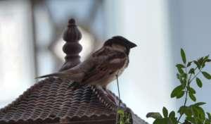 Save the innocent Sparrow Birds !!