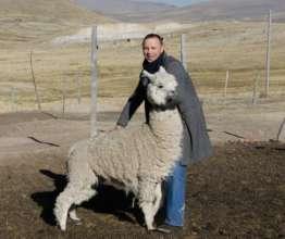 Daniel collars an alpaca in Peru