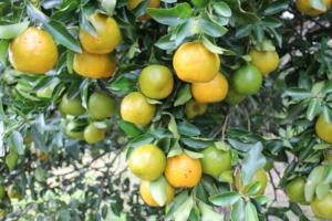 Oranges on George's Forest Garden trees