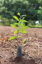 A mango tree ready to plant in the Forest Garden