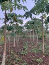 Field optimization with papayas and vegetables