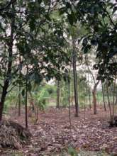 Timber trees help provide for the family