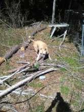 Sadie Owens in her healthier, hunting days!
