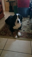 Bella, the Bernese Mountain Dog