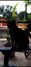 Kedi, the Bengal....