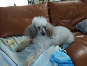 Java, the most loved poodle in the world!