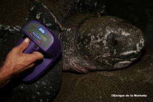 A nesting leatherback turtle