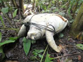 Green turtle taken by poachers