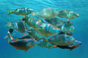 Blue damselfish / by damedias, Caribbean sea
