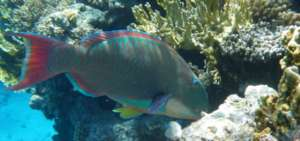 A colorful parrotfish. | By Adrian Maidment