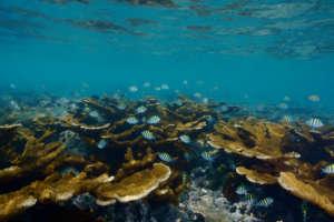 Corals in the Veracruz Reef System