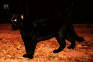 Black jaguar in the Santa Monica Reserve