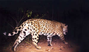 Jaguar caught on camera in the project area