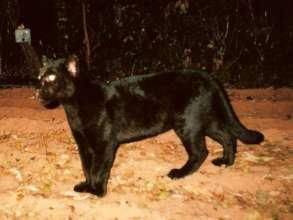 Black jaguar caught on camera in the project area