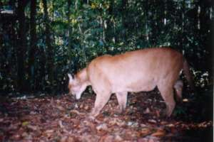 Puma caught on camera in the project area
