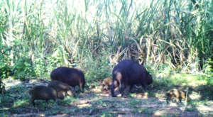 Capybaras.  AES Brasil