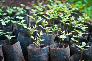 Choma St. nursery looked after some 1700 seedlings