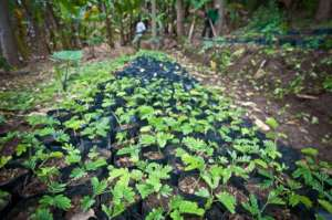 1422 seedlings for Choma and Kisosa.
