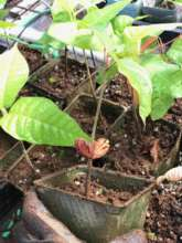Potting Cacao in Hawaii