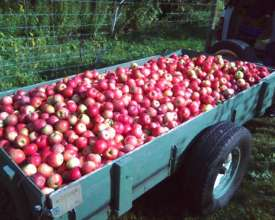 335 pounds of apple harvest for the food bank!