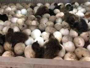 Providing ducklings