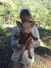 Piglets as livelihood enterprise