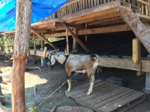 Goat livelihood