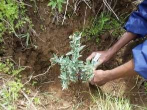 Tree sapling planted in water saving gel