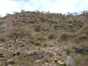 Exclosure with young Acacia abyssinica trees