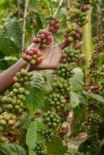 Grace's coffee crop