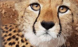 Cheetah Cub in Somaliland