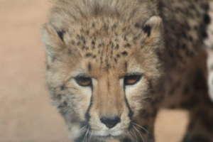 Cheetahs as Cubs