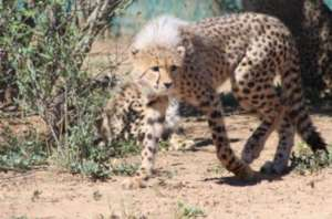 Cheetahs when they were cubs