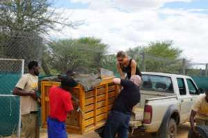 Crated cheetah cub ready for transport