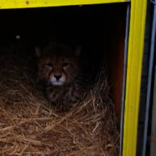 Sasha the Cheetah Cub