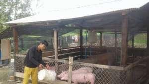 Pig Food