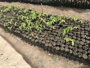 KOKAP's growing seedlings