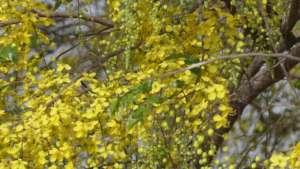 Cassia tree blossom