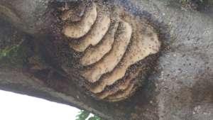 Swarm in  a baobab tree