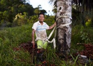 Maijuna Palm Fruit Collector