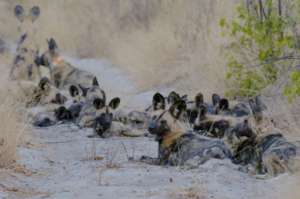 Socks (collared) with her pack and pups