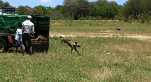 Image credit: Painted Dog Conservation.
