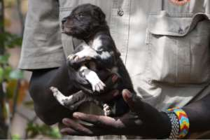 Painted dog puppy rescue