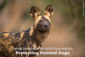 Protecting Painted Dogs