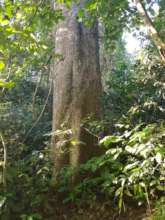 Profile of Giant tree from southern Western Ghats