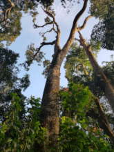 A giant tree from a sacred grove in Wayanad