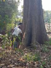 Giant tree conservation due to cultural practice
