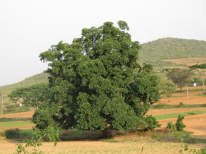 Bandipur Giant Tree 1
