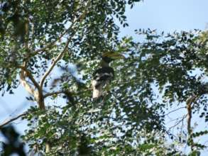 Great hornbill-dispersal agent03