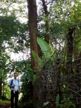 Mid sized tree of Terminalia bellirica
